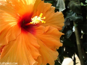 hibiscus-malaysia-national-flower1